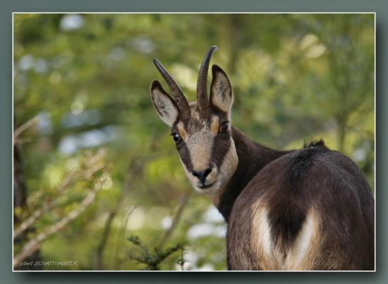 Chamois forestiers