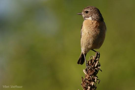 Tarier pâtre femelle