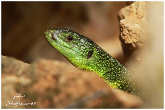 Lezard vert le 18.03.2012
