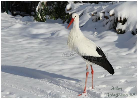 Albert la cigogne d'Ingersheim,je l'ai nourri pour la première fois le 12.02.1996 au stade de foot