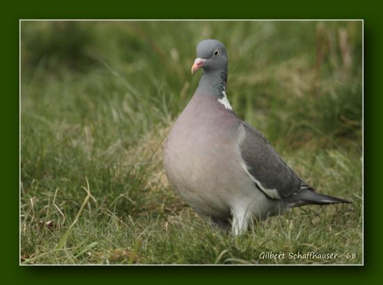 Pigeon Ramier (ou Palombe)