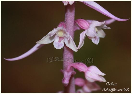 Epipactis purpurata (sous espèce rose)