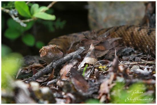 Vipére aspic femelle le mâle est plus clair, le 12.05.2012