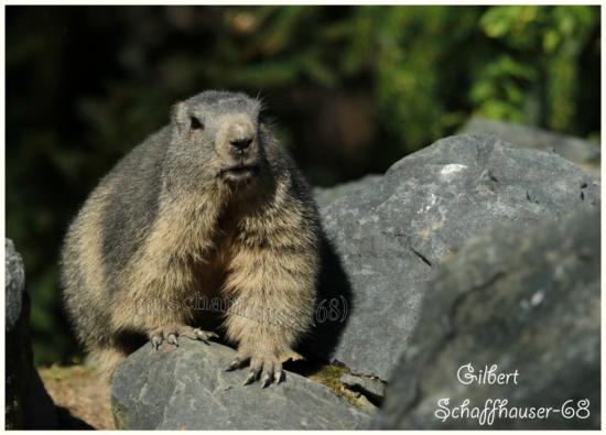 Marmotte 22/10/11