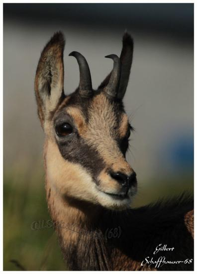 Portrait de chamois