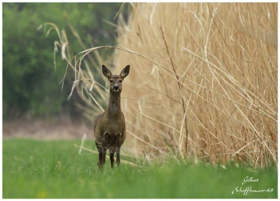 Chevreuil mise à jour le 23.04.2012