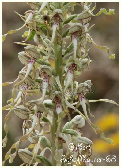 Orchis bouc, (Himantoglossum hircinum)