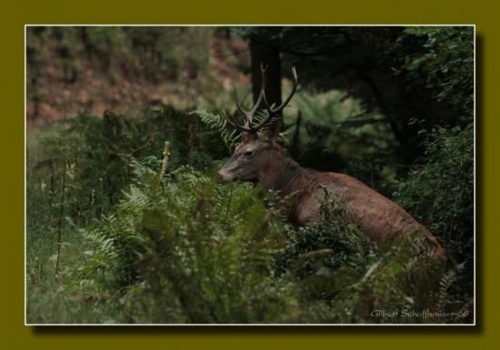 Jeune cerf dix cors 2012