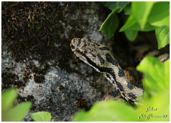 Vipère aspic mâle le12.05.2012
