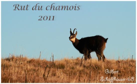 Rut du chamois 2011
