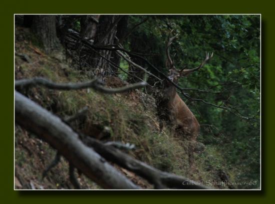 Période de brame en Alsace le cerf
